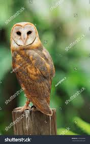 Beautiful Barn Owl Perched On Tree Stock Photo 275234492 ... Photographs Of Barn Owls Leigh Ornithological Society 110317 Greenscape Environmental Owl In Flight Limited Edition Print By Robert E Fuller Designstuff Charming 3 Clotheshopsus Vintage Poster Barn Owl Birds Pinterest Owls Day 207 Katy Lipscomb Online Store Powered Never Lose Hearing Youtube Best 25 Sounds Ideas On Beautiful Its Time To Decorate For Fall Wisdom Art Miss Majewiczs Emporium The Heart Facts Pictures Diet Breeding Habitat Behaviour