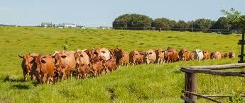 Barnyard Cattle Reverse Search