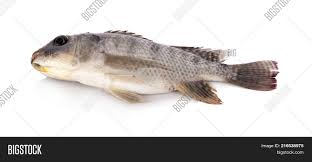 Nile Tilapia Fish Isolated On White Background