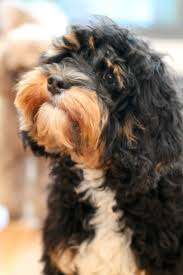 Do Cavapoos Shed A Lot by 144 Best Cavapoos Images On Pinterest Poodle Mix Doodle Dog And