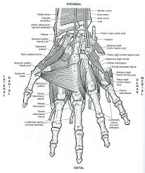 Anatomy Of Muscles Reference Coloring Book