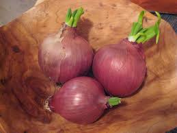 anktangle growing sprouted onions