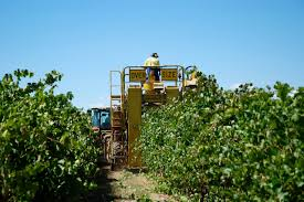Bishops Pumpkin Farm Employment by New Australian Woe Young Foreign Travelers Lose Taste For Farm