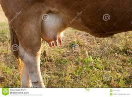 Beef Cow Clipart linuxteam