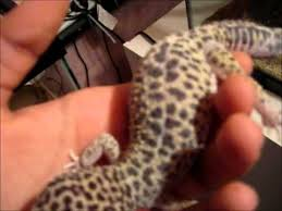 Do Leopard Geckos Shed by How To Tell When A Leopard Gecko Is In Shed Robert Rose Reptiles