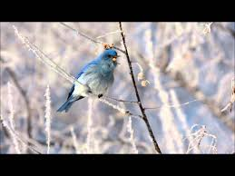 Mountain Bluebird On A Frosty Winter Morning In Utah County, Utah ... Cdc Links Salmonella Outbreaks To Backyard Poultry How Avoid Utah Birders Birding Blog Birds Bird Choose The Best Birdseed For Your Backyard Is Fun Downy Woodpecker A Study March 2011 Birds Ecological Society Of America World Sanctuary The In My Top 10 Foods Winter Feeding Watchers Digest Arctic Tern With Young Saw These Nesting Rose Park Area Ii Songbirds Woodpeckers Ground Feeding Squirrels Archives Wild About