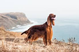 Dogs That Dont Shed Hair Ireland by Irish Setter Dog Breed Information Fun Facts And Faq U0027s 2017 Edition