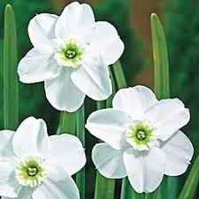 176 best narcisos images on beautiful flowers