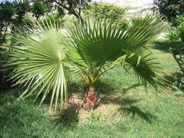 prix des palmiers exterieur palmier nain chamaerops humilis plantation taille entretien