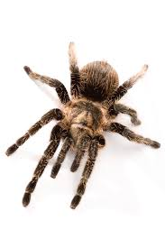 Do Tarantulas Molt Upside Down by How To Tell The Age Of A Tarantula Animals Mom Me