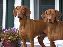 Do Vizsla Dogs Shed by Best Hunting Dogs Breeds Dog Breeds Puppies Top Hunting Dogs Breeds