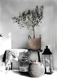 die 40 besten ideen zu olivenbäumchen olivenbäumchen