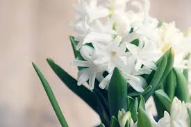 hyacinths how to plant grow and care for hyacinth flowers the