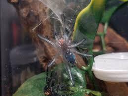 Do Tarantulas Molt Upside Down by My C Versicolor Sling Ori Molted Album On Imgur