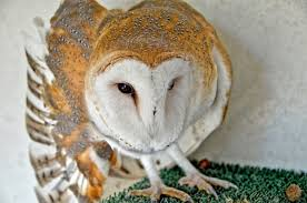 BARNEY: Barn Owl | California Raptor Center Barn Owl Wikipedia Owl Owlingcom Large Needle Felted By Jessiedockins On Deviantart This Is All You Need To Know About Owls Youtube Watch The Secret To Why Barn Owls Dont Lose Their Hearing Waits Birdnote Adopt Charlie Hawk Conservancy Trust Audubon Field Guide Box Company Birds Of The World Owls What Male Want Big Spots Curious Stock Photo 60128467 Shutterstock
