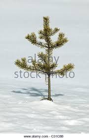 Christmas Tree Saplings Ireland by Snow Winter Pine Sapling Stock Photos U0026 Snow Winter Pine Sapling