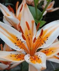 asiatic orange electric asiatic hybrid hardy lilies