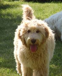 Do American Akitas Shed by Do Labradoodles Shed Dog