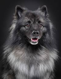 Dogs That Dont Shed Keeshond by Keeshond Breed Information Pet365