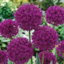 buy allium purple sensation bulbs free shipping 99 99