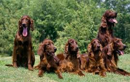 Do Brittany Spaniels Shed Hair by Brittany Dog Breed Information