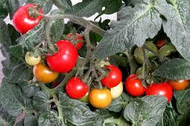 schwarze fliegen auf tomaten