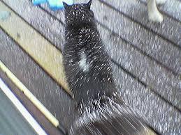my cat has dandruff my cat has dandruff c b flickr