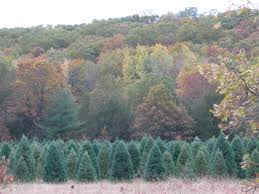 Types Of Christmas Trees With Sparse Branches by Wctpa Wisconsin Christmas Trees Varieties Descriptions Photos