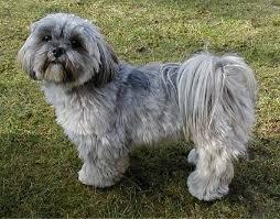 lhasa apso puppy shedding lhasa apso puppy shedding 28 images 25 best lhasa apso puppies