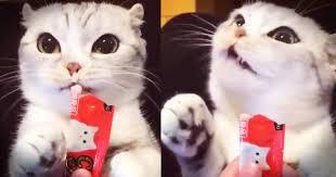 cats and yogurt kitty cat snacks on yogurt so all created