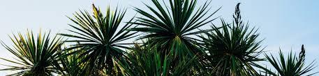 yucca palme pflege standort gießen überwintern und