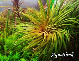 Pogostemon australia Aquascape Pinterest