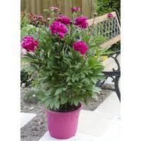 pivoine herbacee en pot pivoine herbacée le pot de 8 5 litres plantes vivaces autres