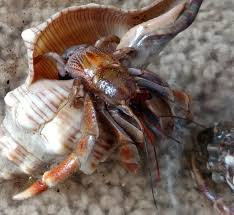 Do Hermit Crabs Shed Legs by Legs Archives The Crabstreet Journal