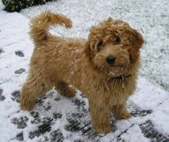 Non Shedding Small Dogs Australia by Miniature Labradoodle Dog Info Temperament Puppies Training