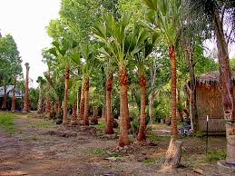 Christmas Tree Seedlings Wholesale by Palm Tree Types And Palm Tree Pictures From Palm Trees Of Houston
