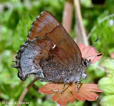 Henry's Elfin Callophrys Henrici (Grote & Robinson, 1867 ... Trusted Collision Repair Service King Metal Forming Fabricating Welding Fishing Buyers Guide By Carlas Corner Store Home Artists Amicable Amygdalae Barnes Supply Citrus Heights Facebook Online Bookstore Books Nook Ebooks Music Movies Toys Luxe Calme Et Volupte An American Designer Reinterprets A Cannes Printvis Us Fish And Wildlife Police Seek Help To Id Theft Suspects Partnership Magazine 2016 Edition Santa Fe College Issuu