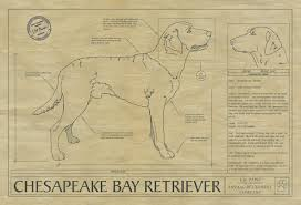 Chesapeake Bay Retriever Shed Hunting by Animal Drawings Archives Animal Blueprint Company