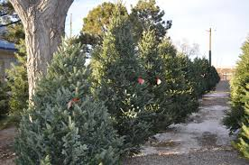 Types Of Live Christmas Trees by Christmas Trees Heidrich U0027s Colorado Tree Farm Nursery