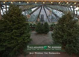 Fraser Fir Christmas Trees by Christmas Trees In Tallahasseetallahassee Nurseries