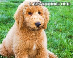 List Of Non Hypoallergenic Dogs by Hypoallergenic Dogs A Complete Guide To Hypoallergenic Dogs