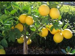 slide photos lemon tree in pot