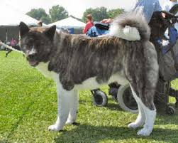 Do Akita Dogs Shed Hair by Akita Japanese Akita Dog Breed Guide Information And Pictures