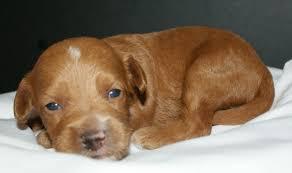 Small Non Shedding Dogs Australia by Australian Labradoodle Puppies Ashford Manor Labradoodles