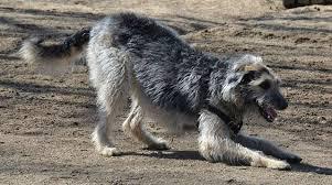 Irish Wolfhound Non Shedding by 10 Fastest Dog Breeds Care Com Community