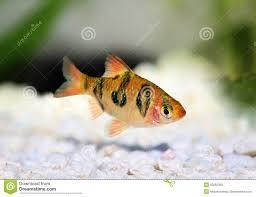poisson eau douce aquarium tropical poissons tropicaux d eau douce d aquarium de rhomboocellatus de