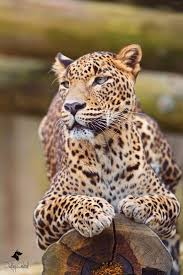 Best 25 Jaguar habitat ideas on Pinterest