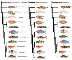 Different Hypotheses For The Phylogenetic Relationships Among Major Percomorph Fish Lineages Tree To