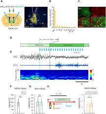 Bed Nucleus Of The Stria Terminalis by Excitation Of Gabaergic Neurons In The Bed Nucleus Of The Stria