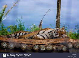 Save Tiger Stock Photos & Save Tiger Stock Images - Alamy 45 Tiger Truck Stop Trucker Jims Truckin Journey Youtube The Is Here To Stay Vice Kept At Iberville Parish Truck Stop Dies Tony The Update Owner Plans Pursue Another Tiger Stuff For Free Jobyronkuhnercom Kept At For 17 Years Dies But Legal Battle Isn September 28 2015 2 Louisiana Cdllife Abandoned Sign Along I2 Flickr